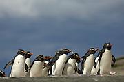 Die Felsenpinguine (Eudyptes chrysocome) kommen nach ihrem Beutezug in Gruppen aus dem Meer und machen sich auf den Weg hinauf in die am Hang gelegene Brutkolonie.|After their foraging trip the rockhopper penguins (Eudyptes chrysocome) return from the ocean in groups and start to walk and hop all the way up to their breeding colony far uphill.