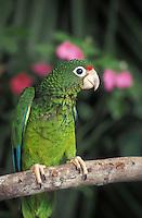 """Amazona Vittata"" Endangered species."