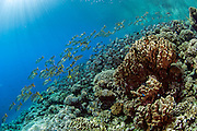 Coral reef in Tetamanu Pass, Fakarava Atoll, French Polynesia, an UNESCO World Heritage Site.