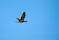 White-faced Ibis (Plegadis chihi) in flight over Lake Chapala, Jocotopec, Jalisco, Mexico