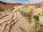 Cholla cactus grows sharp yellow spines amid white and red sandstone formations in White Domes area of Valley of Fire State Park (dedicated in 1935) in Nevada, USA. Starting more than 150 million years ago, great shifting sand dunes during the age of dinosaurs were compressed, uplifting, faulted, and eroded to form the park's fiery red sandstone formations. The park also boasts fascinating patterns in limestone, shale, and conglomerate rock. The park adjoins Lake Mead National Recreation Area at the Virgin River confluence, at an elevation of 2000 to 2600 feet (610-790 m), 50 miles (80 km) northeast of Las Vegas, USA. Park entry from Interstate 15 passes through the Moapa Indian Reservation.