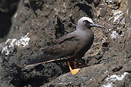 Black Noddy photos