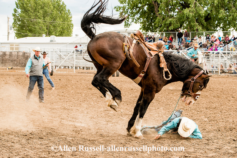 Saddle Bronc, Louie Brunson bucked off by James Bond, Miles City Bucking Horse Sale, short go-round, Miles City, Montana