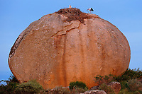 White storks, Ciconia ciconia, nesting on the granite boulders at Los Barruecos National Monument, Caceres, Extremadura, Spain