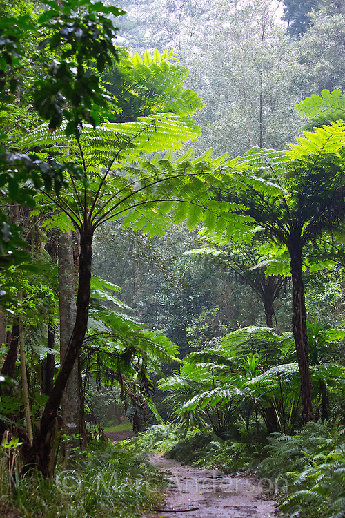 Tall Norfolk Tree Ferns in subtropical rainforest, Norfolk Island, Australia