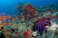 Crown of Thorns Starfish and Anthias II