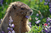 Hoary Marmot (Marmata caligata) eating Lupine flowers along Alta Vista Trail in the Paradise area of Mount Rainier National Park, Washington..