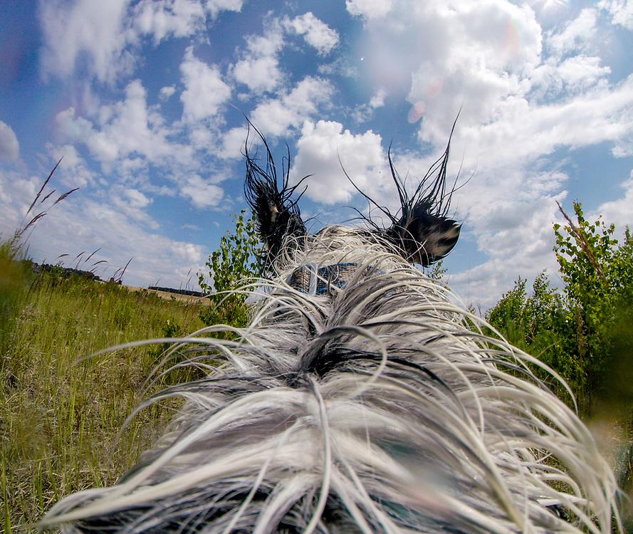 """English Setter """"Rudy"""" trägt am 26.06. 2018 eine """"Action Kamera"""" auf seinem Rücken und fotografiert am Teich von Stara Lysa, (Tschechische Republik).  Rudy wurde Anfang Januar 2017 geboren."""