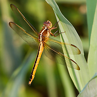 Dragonflies and Other Insects