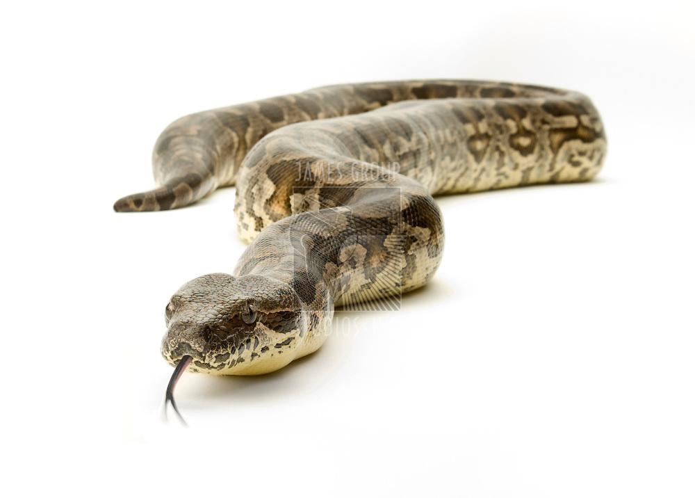 Boa constrictor snake on a white background