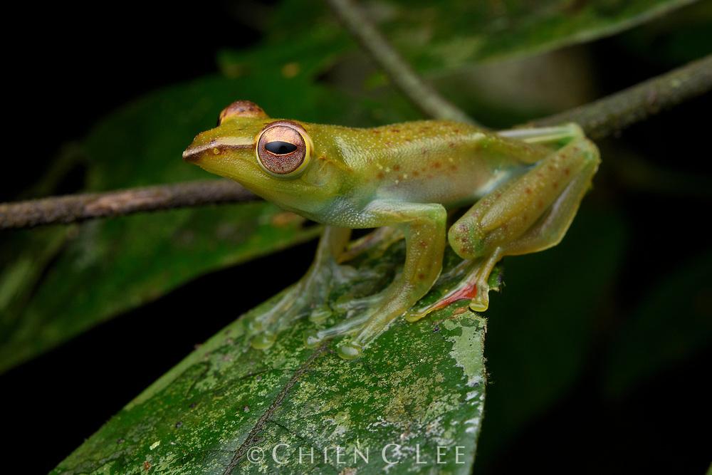 Jade Tree Frog (Rhacophorus dulitensis). Ulu Temburong National Park, Brunei.