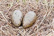 Pacific Loon, Gavia pacifica, eggs and nest, Yukon Delta NWR, Alaska