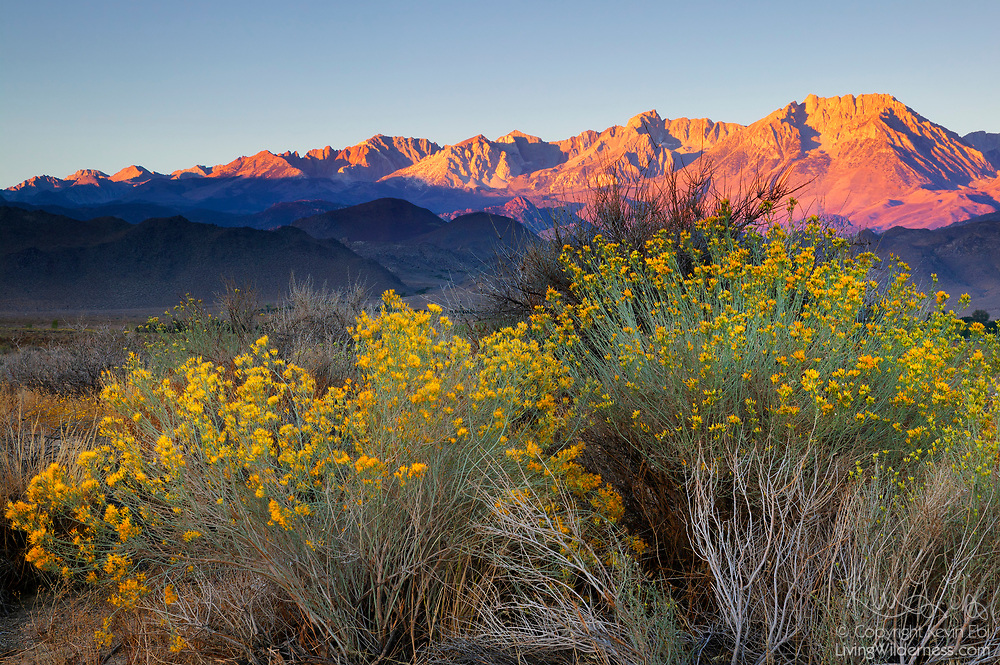The first light of day illuminates the mountains near Bishop, California, with desert brush, including green rabbitbrush (Chrysothamus vicidiflorus), below.