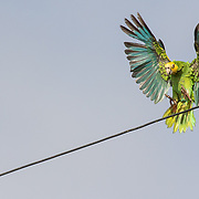 A yellow-shouldered amazon parrot (Amazona barbadensis) landing on a telephone line in the town of Rincon. The parrots are increasingly coming into urban areas to find food. Conflict is intensfying between humans and parrots because people are unhappy when the parrots eat their fruit and their sorghum. IUCN Vunerable.