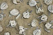 Black vulture (Coragyps atratus) are not able to swallow the olive ridley sea turtle hatchlings (Lepidochelys olivacea) whole so they  tear them apart and often leave the rest while they go for the next one. | Nahrungsüberangebot für Geier - Hinterlassenschaften einer Konsumgesellschaft: Die weitaus meisten Oliv-Bastardschildkröten (Lepidochelys olivacea) schlüpfen bei Nacht. Ein Großteil derer, die bei Tageslicht noch auf dem Sand unterwegs sind,fällt den Rabengeiern (Coragyps atratus) zum Opfer. Da der Schlund der Geier für den Panzer ihrer Beute zu eng ist, müssen sie die Schildröten zerreissen. Oft fressen sie dabei nur den Kopf oder einzelne Flossen, bevor sie ein paar Schritte weiter ihr nächstes Opfer aufpicken.