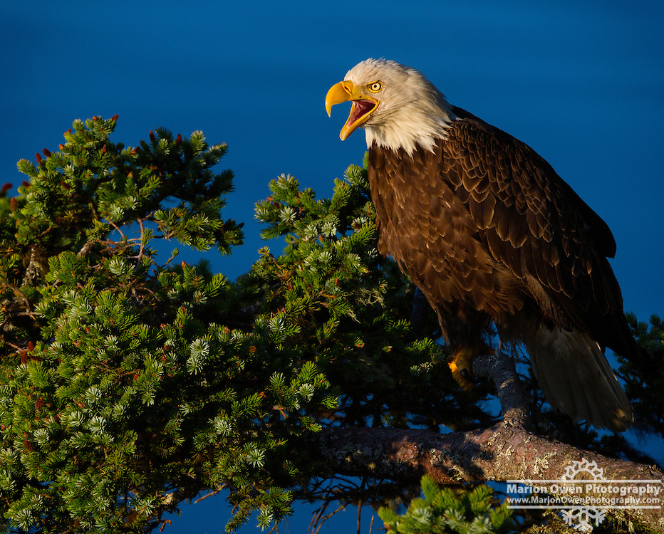 Bald Eagle, Haliaeetus leucocephalus, cries out while perched on a Sitka spruce tree branch, Kodiak, Alaska