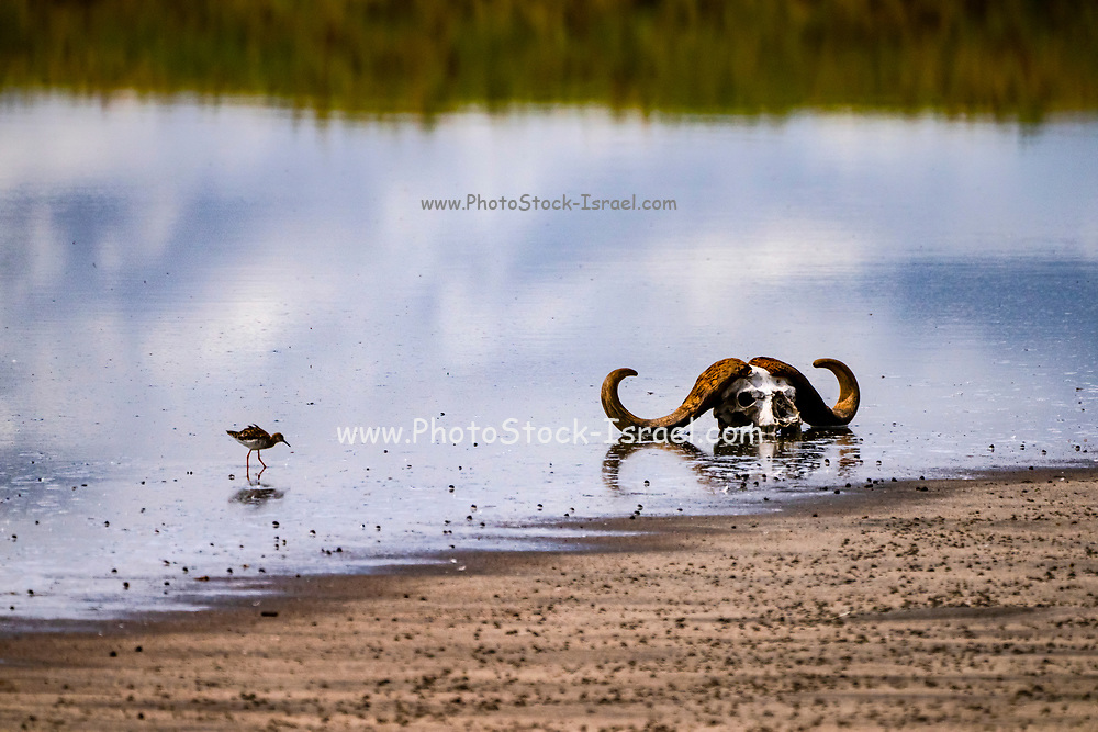 Skull of a Cape buffalo (Syncerus caffer) in a water hole Photographed at Serengeti National Park, Tanzania