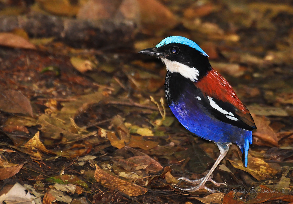 Blue-headed Pitta, Hydrornis baudii, Danum Valley, Borneo, by Rainer Summers