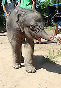 RONGCHENG, CHINA - AUGUST 31: (CHINA OUT) <br /> <br /> Newborn Elephant Trampled By Mother<br /> <br /> A zoo keeper plays with a newborn male elephant at the Shendiao Mountain Wildlife Nature Preserve on September 2, 2013 in Rongcheng, Shandong Province of China. The elephant trampled by his mother after he was just born on August 28, and the mother refused to feed him. Zoo keepers saved the elephant from his mother in time, and the elephant's eyes filled with tears in the following five hours. The elephant's organs were badly injured.<br /> ©Exclusivepix