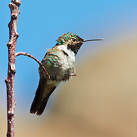 Male Broad-tailed Humming Bird at Lilly Lake in Rocky Mountain National Park. Image taken with a Nikon D3 and 70-200 mm f/2.8 VR lens + TC-E II 20 teleconverter (ISO 360, 400 mm, f/11, 1/400 sec).  Raw image processed with Capture One Pro, Focus Magic, and Photoshop CS5.