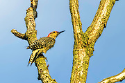 Red-bellied Woodpecker - Melanerpes carolinus sitting on a limb looking up with a blue background