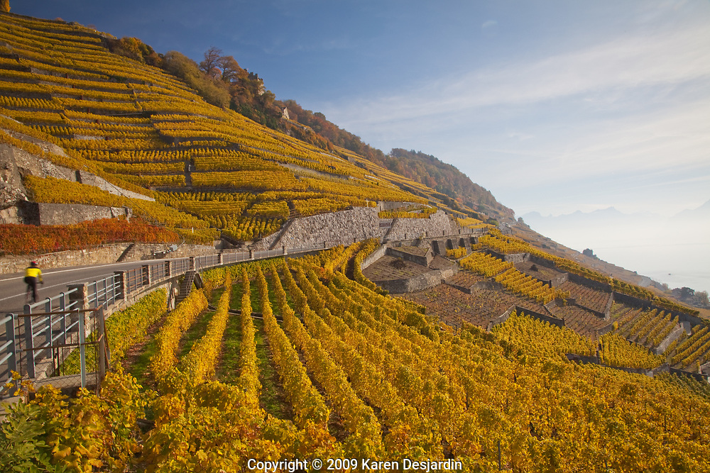 Fall colors in the terraced vineyards of the Lavaux wine region near the village of Epesses.