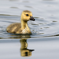 gosling