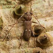 Gnatholea ebrurifera, Longhorn Beetle. Khao Ang Rue Nai Wildlife Sanctuary, Thailand.