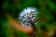 close up of a Dandelion blowball