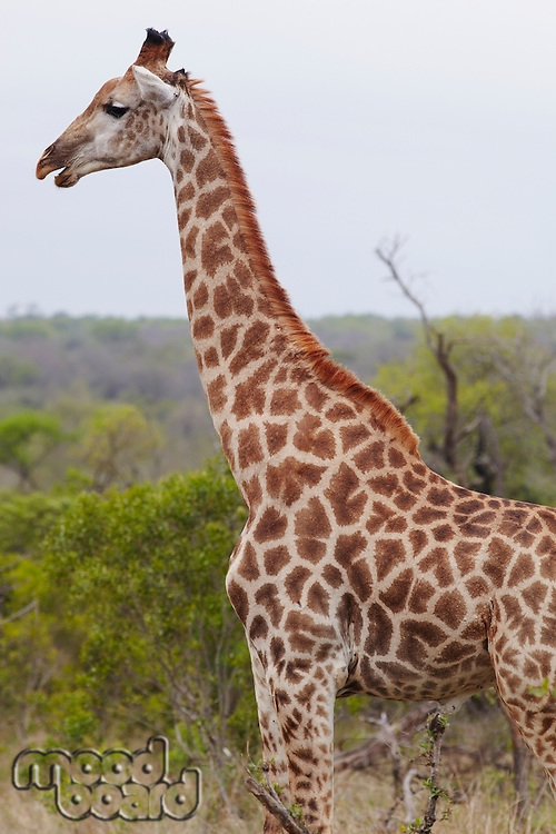 Giraffe stands side view profile