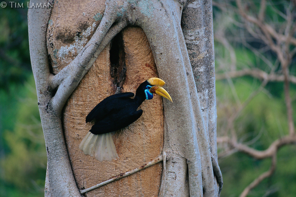 Female Knobbed Hornbill (Aceros cassidix) outside her nest.  Chick is near fledging, and female has emerged and is assisting male in feeding chick..Tangkoko Batuangus/Dua Saudara Nature Reserve, Sulawesi Island, Indonesia.