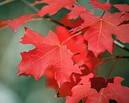 Vivid Fall Leaves Along the West Fork Trail - Oak Creek Canyon, AZ