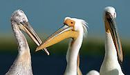 White Pelicans - Pelecanus onocrotalus and Dalmation Pelican - Pelecanus crispus