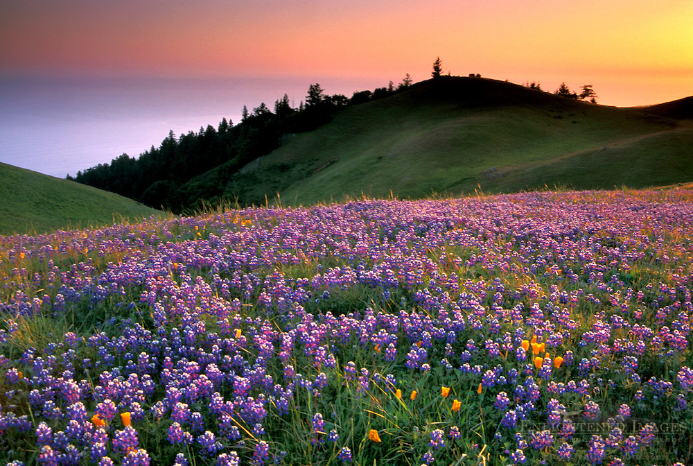 Field of purple wildflowers in green grass field on hillside at sunset, Bolinas Ridge, Mount Tamalpais, Marin County, California