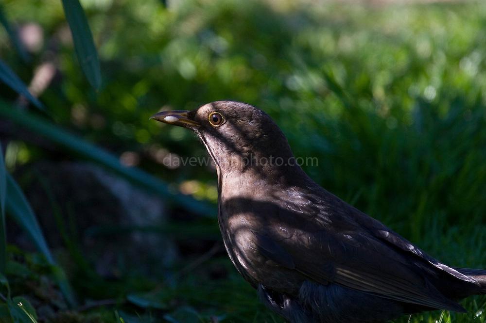 Female common blackbird (Turdus merula).