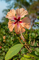 hibiscus in Costa Rica