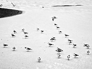 A flock of gulls on a frozen Reservoir in Central Park
