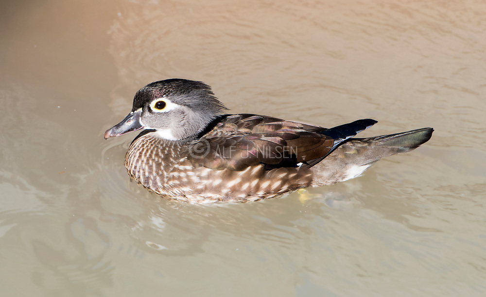 Female Mandarin Duck (Aix galericulata) from Wildlife World Zoo, Phoenix, Arizona, USA