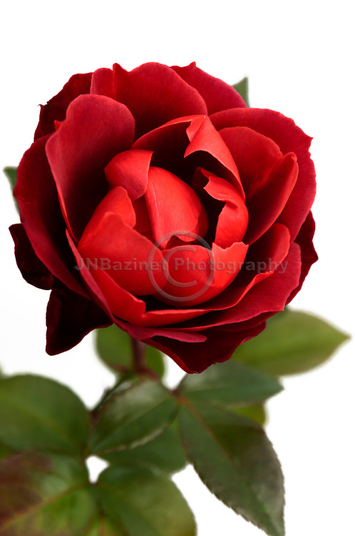 Beautiful bold, vibrant Red Cocoa Rose isolated on white background