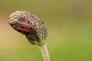 Close up of a Dionconotus cruentatus