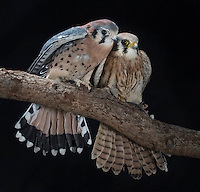 Kestrel (Falco sparvierus), Captive