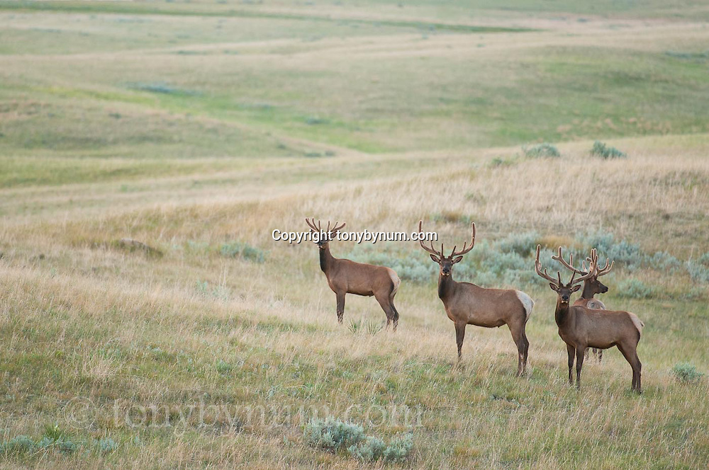 four bull elk in velvet on green prairie eastern montana near malta conservation photography - montana wild prairie