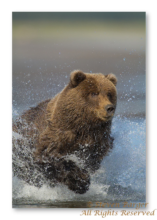 Grizzly bear learning to fish in Silver Salmon Creek in Lake Clark National Park in Alaska.