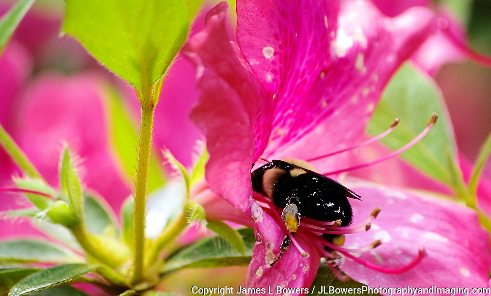 Bee with Azalea pink
