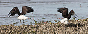 Two Bald Eagles launch into the air from a Hood Canal oyster bed at Big Beef Creek, Seabeck, WA, USA