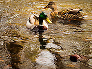 25 APRIL 2015 - MINNETONKA, MINNESOTA, USA:  A pair of Mallard ducks in Minnehaha Creek as it runs through Minnetonka, MN. Minnehaha Creek is a 22-mile-long (35 km) tributary of the Mississippi River that flows east from Gray's Bay Dam on Lake Minnetonka through the suburban cities of Minnetonka, Hopkins, Saint Louis Park, and Edina, and the city of Minneapolis. The creek flows over Minnehaha Falls in Minnehaha Park near its mouth at the Mississippi River.     PHOTO BY JACK KURTZ