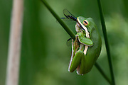 A green tree frog (Hyla cinerea) dines on a dragonfly - Water Valley, Mississippi