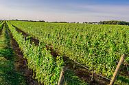 Field of Grapes, Vineyard, 7305 Wickham Ave, Mattituck, NY