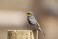 A Yellow Rumped Warbler sits on a wooden fence post in south western Wyoming it was feeding at the time jumping up after flying insects and then back down to sit on the post until the next bug flew by!