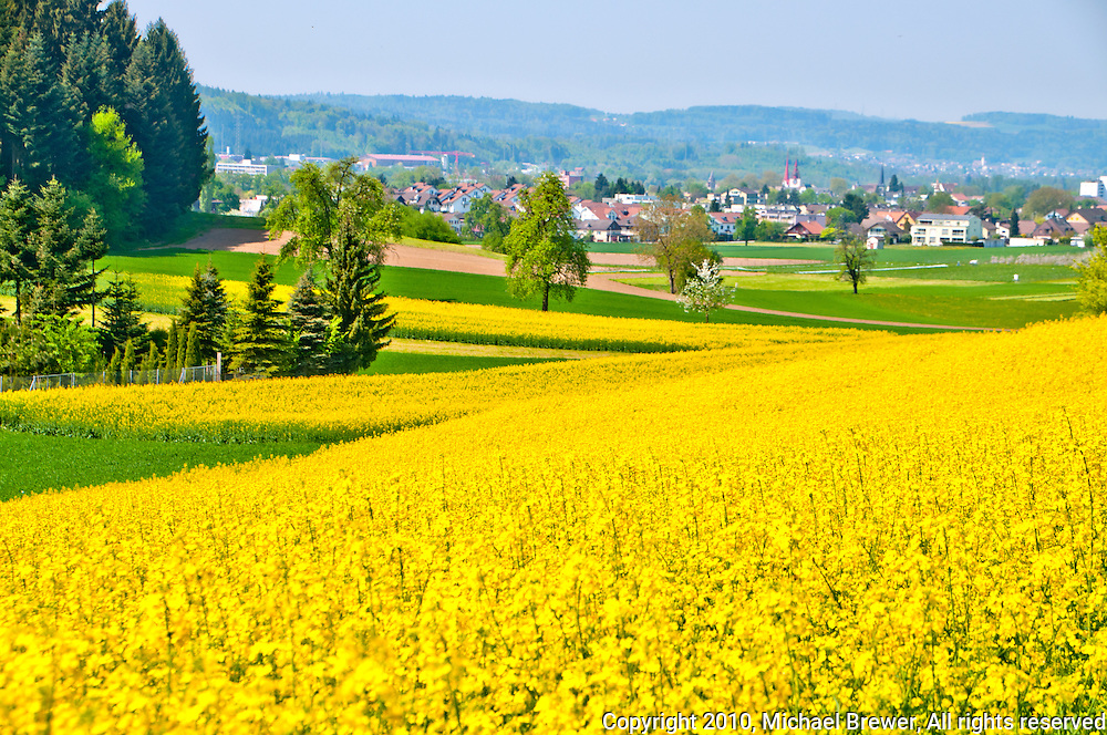 Looking across gorgeous yellow rapeseed fields towards the town of Bremgarten in Aargau, Switzerland.